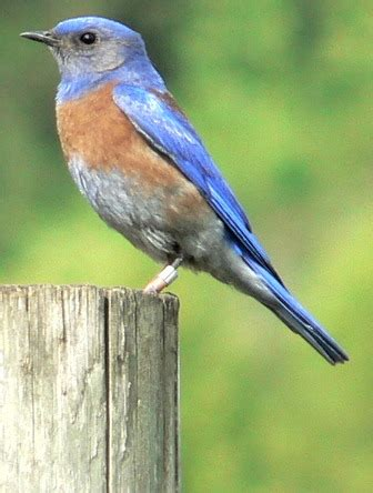 california bluebird pictures and facts birds