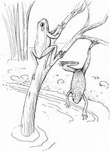 Frog Coloring Pages Frogs Swimming Animals sketch template