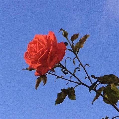 Aesthetic Flowers Tumblr Roses