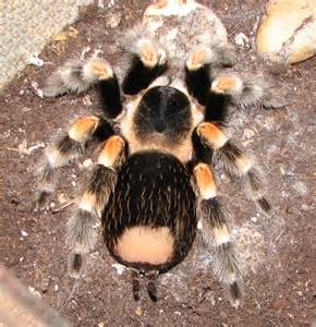 Hairy Tarantula Spider