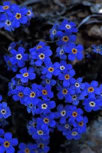 Alpine Forget Me Not Flower