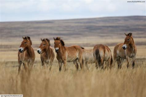 horse facts wild przewalski breed endangered information herd przewalskis species active found extinct info depth discover mongolian activewild