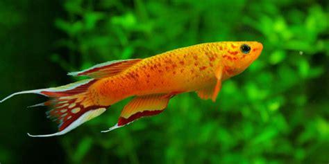 freshwater fish interesting info  subject