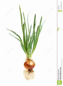 Onion Stock Photo  Image Of Onion  Onions  Cooking  Kochen