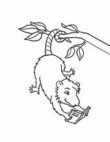 Possum Coloring Reading Pages Opossum Books Hanging Drawing Template Colouring Animal Read Preschool Sheets Magic Printable Luna Animals Cute Tree sketch template