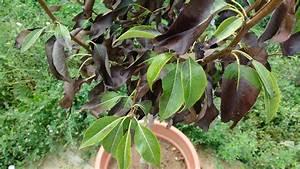 Hortensien Blätter Werden Braun Frost : birnbaum hat pl tzlich braune bl tter ~ Lizthompson.info Haus und Dekorationen