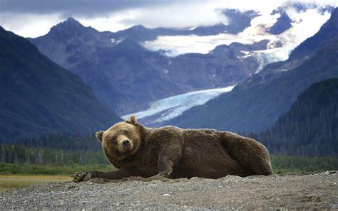 wallpaper bear grizzly mountains alaska usa glacier