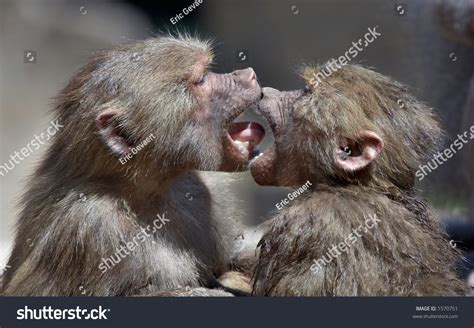 monkeys kissing stock photo  shutterstock