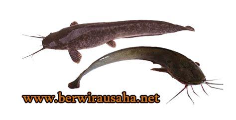 Vektor Ikan Lele Png