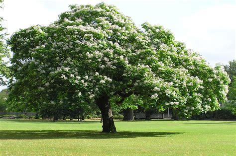 arbre parasol croissance rapide arte y jardiner 205 a catalpa bignoinoides familia bignoni 225 ceas