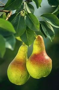 Pear - Wikipedia  Pear