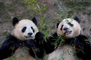 Panda released into the wild in China - China-underground