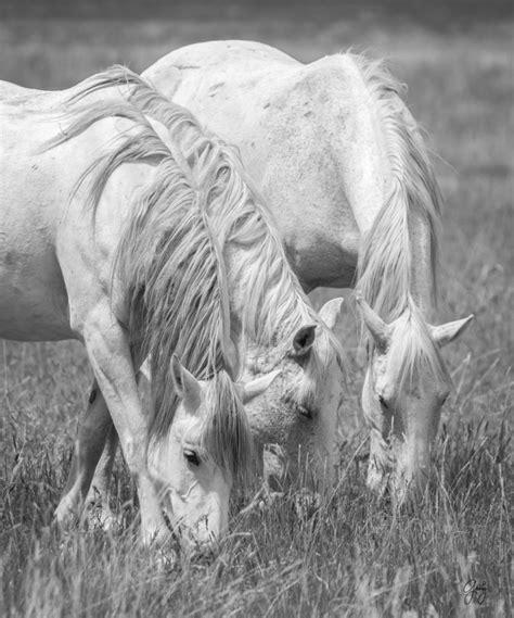 wild horses horse photographs herd june posted utahwildhorses