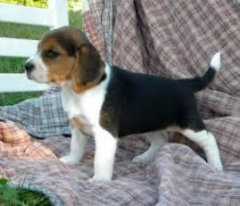 Tri Color Beagle Puppies