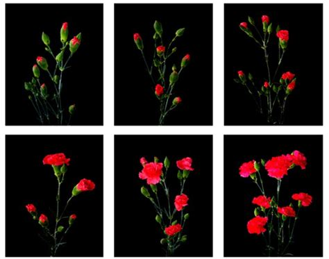 mini carnations life cycle proflowers blog