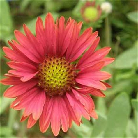 common perennial flowers common perennial flowers for the south