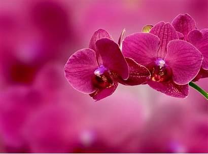 Orchid Flower Petals Pink Bokeh Flowers Orchids