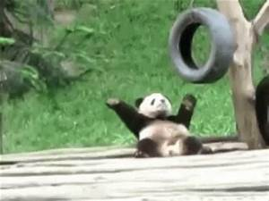 The popular Pandas GIFs everyone's sharing