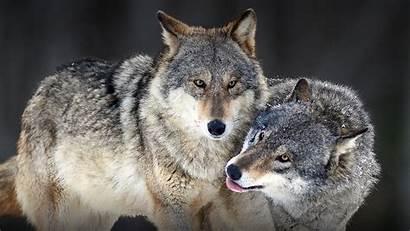 Wolf Meaning Symbol Dream Symbolism