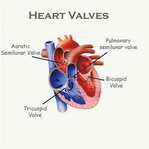 Heart Valve Problem Causes  U2013 Care Of Heart Valves