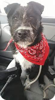 jagger adopted puppy ogden ut border colliegerman