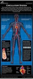 Vereinfachte Darstellung Des Menschliches Blutkreislaufs