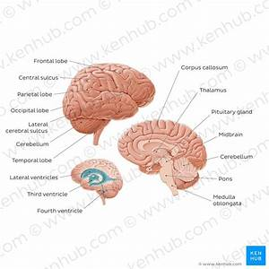 Midbrain And Pons  Anatomy  Location  Parts  Definition
