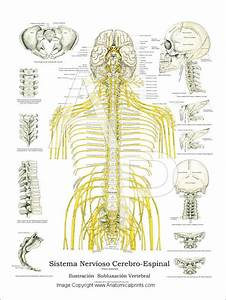 Anatomy Of The Spine  Part 2  Thoracic