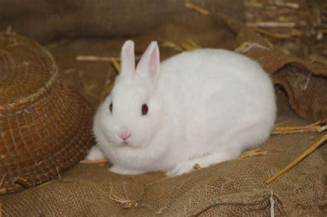 Cosa Mettere Nella Gabbia Coniglio by Allevamento Coniglio Nano Razze E Variet 224 Di Conigli