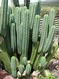 Echinopsis pachanoi - Wikipedia