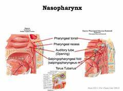 1/14 Pharynx and Larynx Flashcards | Quizlet