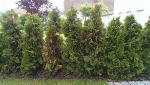 Thuja Smaragd Pflanzabstand : thuja smaragd einpflanzen buy thuja smaragd online plants ~ Michelbontemps.com Haus und Dekorationen