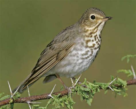 North Carolina Mountain Birds Swainsons Thrush