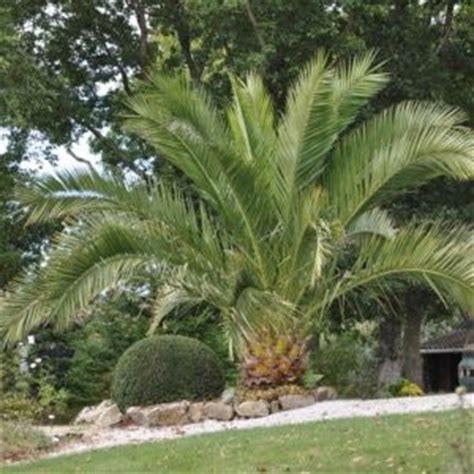 type de palmier exterieur choisir palmier d ext 233 rieur le magazine gamm vert