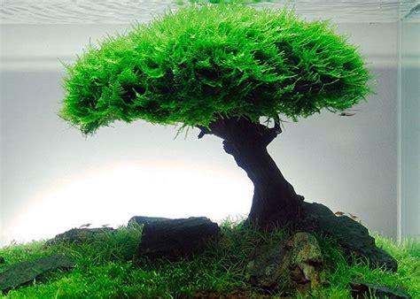 Aquascape Moss by Understanding Plant Aquascape Java Moss Aquascaper