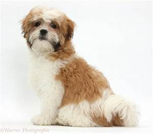 Brown Adult Shih Tzu | www.pixshark.com - Images Galleries ...
