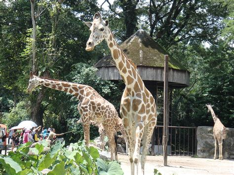 filesekumpulan zirafah giraffe  zoo negara malaysia