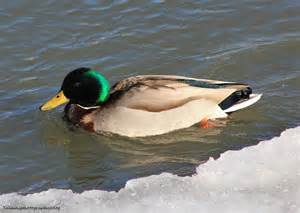 Male Mallard Duck Swimming