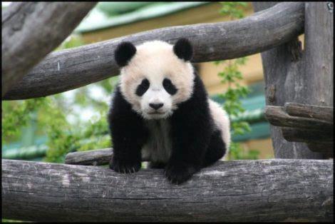 mejores imagenes de osos panda tiernos  adorables