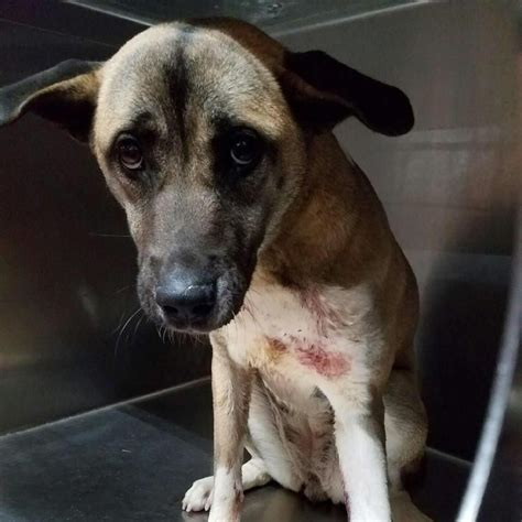 Injured Heartbroken Dog Saved From Being Euthanized in a