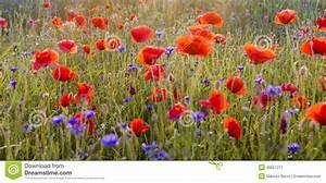Bettwäsche Mit Mohnblumen : die mai wiese mohnblumen und kornblumen stock abbildung ~ A.2002-acura-tl-radio.info Haus und Dekorationen