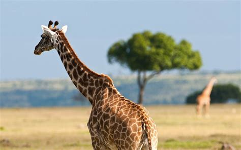 jirafa en la sabana  fondos de pantalla