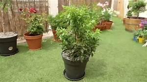 Arbuste Persistant En Pot : planter un arbuste persistant ~ Premium-room.com Idées de Décoration