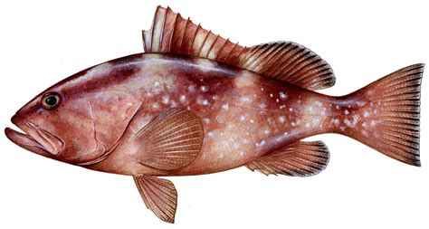 grouper peebles diane fish fishing rome epinephelus nigritus warsaw illustration tag dorsal game database