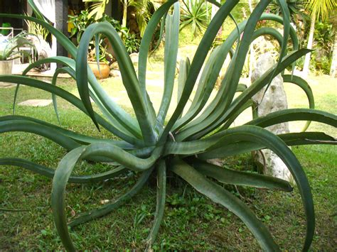 octopus plant care agave vilmoriniana octopus agave world of succulents