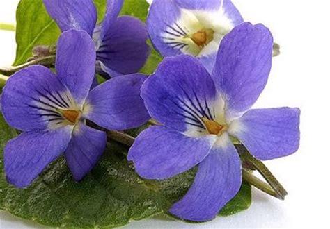 cuisine du moyen age violette fleur comestible sur gourmetpedia la référence des gourmets gourmands