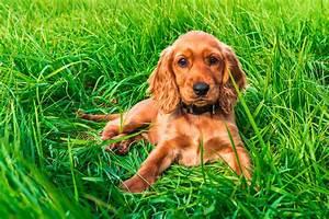 English Cocker Spaniel - Facts, Pictures, Puppies, Temperament, Breeders, Price | Animals Adda