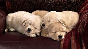 Sleeping Golden Retriever puppies wallpaper #37371