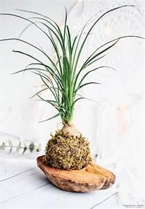 Plante Balcon Facile D Entretien : le kok dama la plante d co et facile d 39 entretien ~ Melissatoandfro.com Idées de Décoration