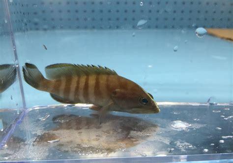 grouper brown fish barred saltwater